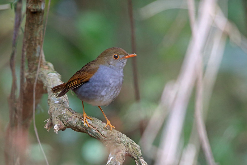 Orange-billed Nightingale-Thrush, La Concordia, Mexico