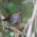 Small photo of Orange-billed Nightingale-Thrush, La Concordia, Mexico