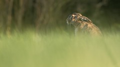 Contemplating Brown Hare