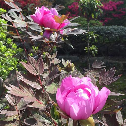 桜が終わったら、牡丹、ツツジ、芝桜… あと雑草むしりも大変ですわ…