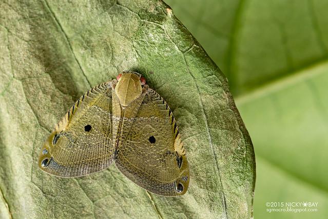 Moth-like planthopper (Ricaniidae) - DSC_4299