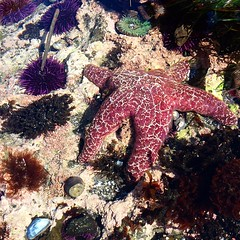Spending the day along the Oregon coast - the highlight has been seeing awesome creatures in the Newport tide pools, including some with blue glowing bioluminescence and many giant starfish!