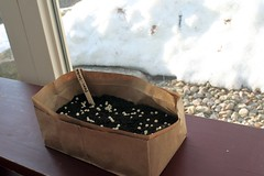 peas planted in bag IMG_2087