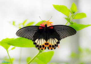 Papilio memnon heronus 鳳 蝶