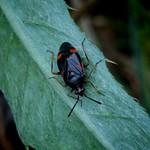 vöröses mezeipoloska - Deraeocoris ruber