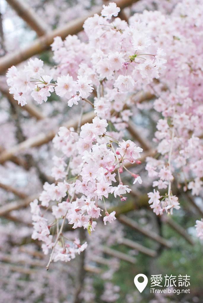 京都赏樱景点 半木之道 18