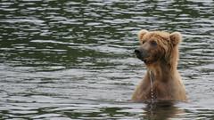 Niedźwiedź grizzli nagle wynurza się z wody i obserwuje teren
