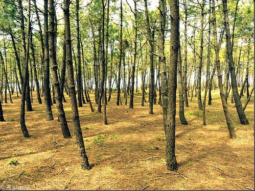 wood france tree island pin noirmoutier arbre forêt bois île vendée paysdelaloire