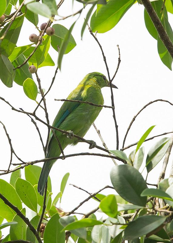 Blue-winged Leafbird Thailand