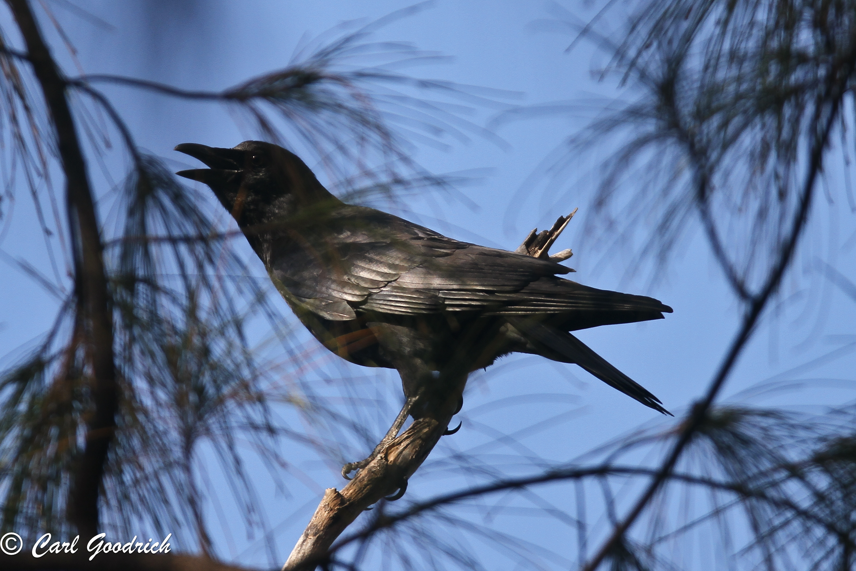 American Crow-2