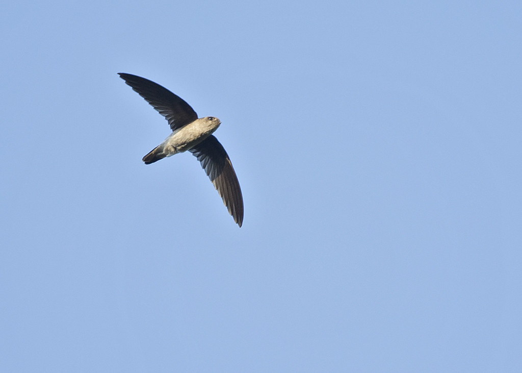 Germain's Swiftlet   Thailand