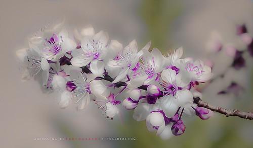 La función del polen en las flores // Pollen function in flowers