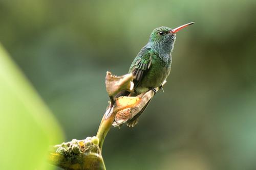 Honduras: Rufous-tailed Hummingbird