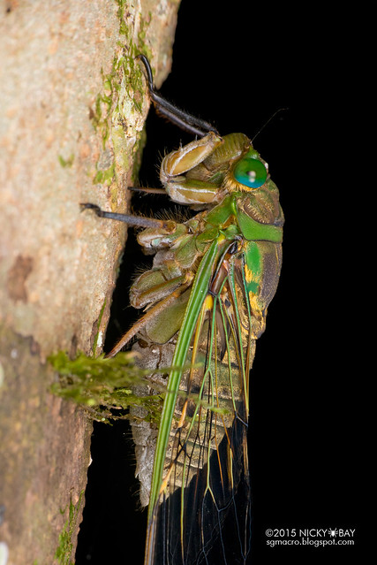Cicada (Cicadidae) - DSC_3576