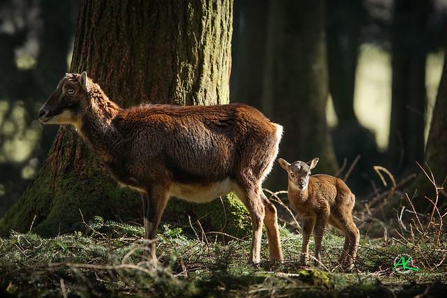 Baby Mouflon <3