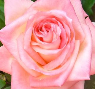 My first Princess Diana Rose