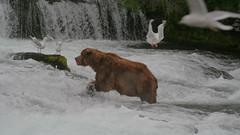 Niedźwiedź grizzli pod wodospadem Brooks