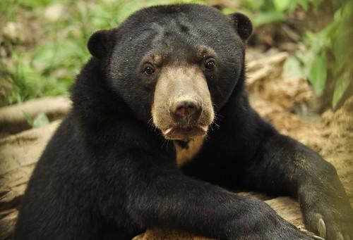 馬來熊。照片由Bornean Sun Bear Conservation Centre (BSBCC) 提供
