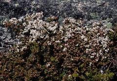 Baeckea gunniana, Mt Stilwell, Charlotte Pass, Kosciuszko National Park, NSW, 28/12/14
