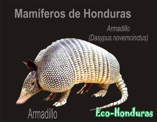 Armadillo2