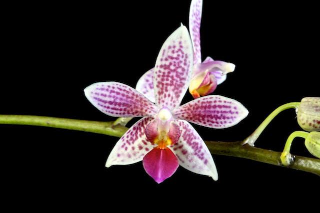 Phalaenopsis Little Sister 17081476976_a7196a5f4f_z