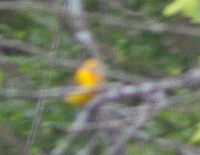 Warbler Blur