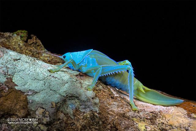 Katydid (Tettigoniidae) - DSC_8882