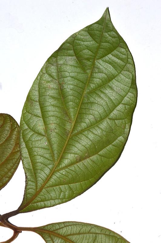 Endiandra insignis Malanda Conservation Park DSC_0349 (3)