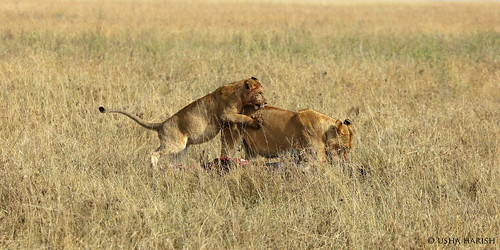 Mother dragging a wildebeest and the cub playing