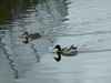 Photo of ducks on the Contra Costa Canal along the Delta de Anza Trail.