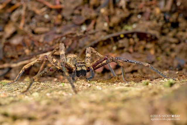 Huntsman spider (Sparassidae) - DSC_5221