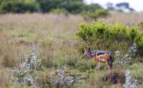 southafrica jackal mpumalanga canismesomelas blackbackedjackal lydenburg kuduranch kuduprivatenaturereserve kudugameranch