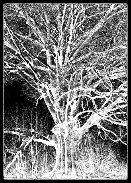 IMG_2129 Sugar Maple 5x7 Negative