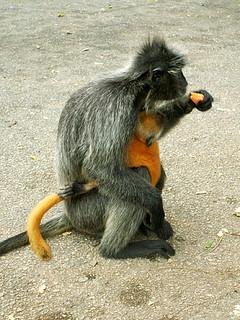 Affen in Malaysia - Silberner Haubenlangur