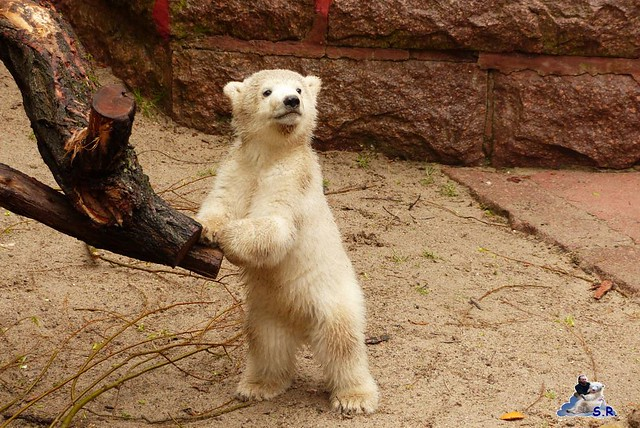 Eisbär Fiete Zoo Rostock 31.03.2015  44