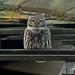 Little Owl by MOZBOZ1