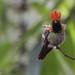 Tufted Coquette - Asa Wright Nature Center, Trinidad by Vivek Khanzodé (www.birdpixel.com)