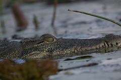crocodile_1