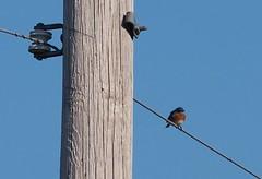 Eastern Bluebird in Shelby Farms