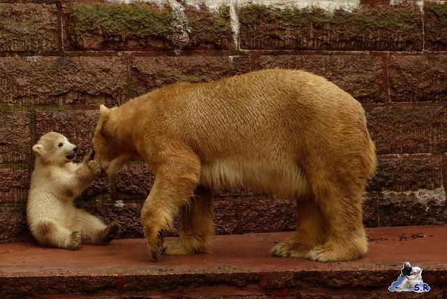 Eisbär Taufe Fiete Zoo Rostock 31.03.21015 194