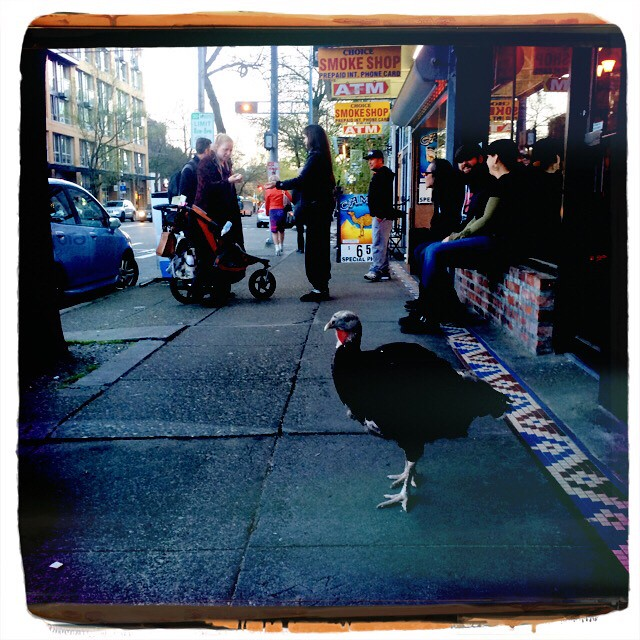 The Urban Turkey