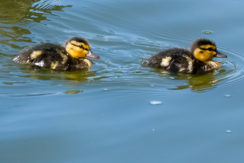 Two ducklings, West Park