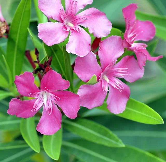 _DSC0047e ~ Oleanders