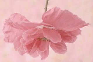 Pink Poppy Macro