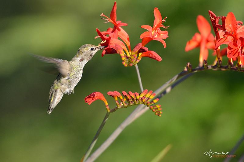 Annas Hummingbird Feeding on Crocosmia flowers