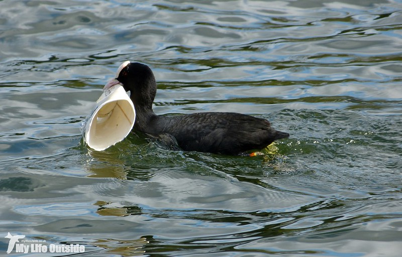 P1120188 - Coot, Cardiff