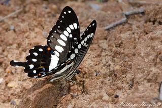 Papilio menestheus 20150312_48273