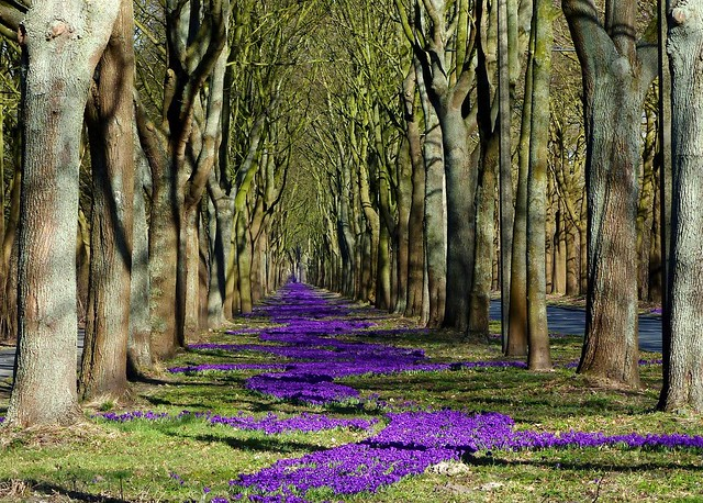 more than one million Crocuses in my city :)