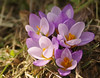 Bouquet of Crocuses