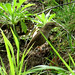 Carriça / Eurasian wren (Troglodytes troglodytes)